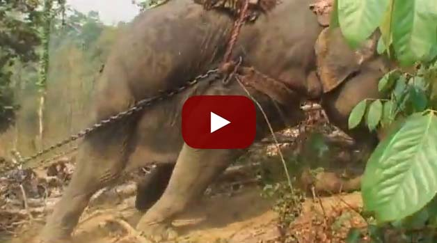 This is why you should NOT ride elephants in Thailand!