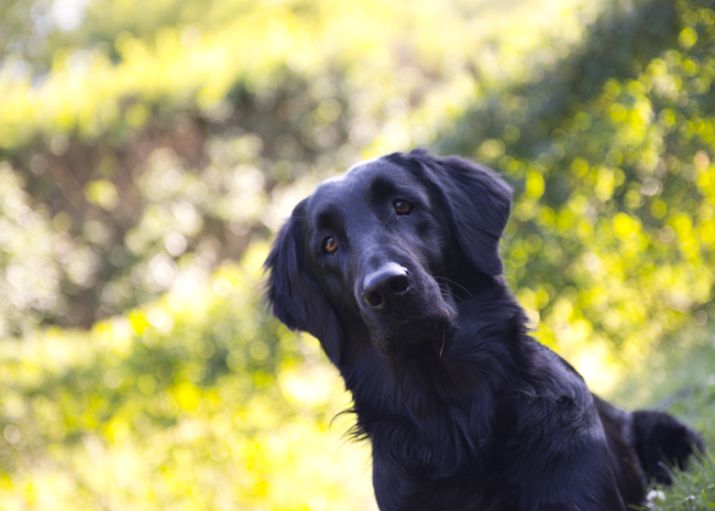 flatcoated retriever,