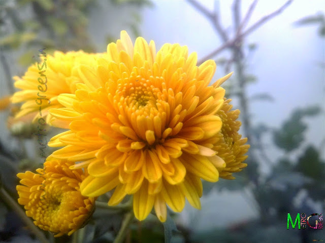 Metro Greens: Orange Chrysanthemum