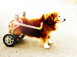Cani disabili, ora arriva la carrozzina