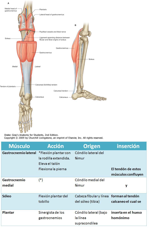 Anatomía UNAM: MÚSCULOS DE PIERNA REGION POSTERIOR PLANO SUPERFICIAL
