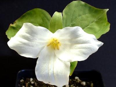 TRILLIUM PENDULUM (Raíz del Parto, Variedades Blanca y Púrpura)