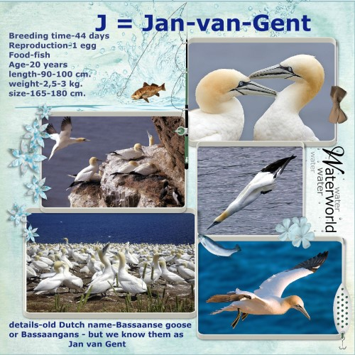 Oct. 2016 . J = Jan-van-Gent - Morus bassanus