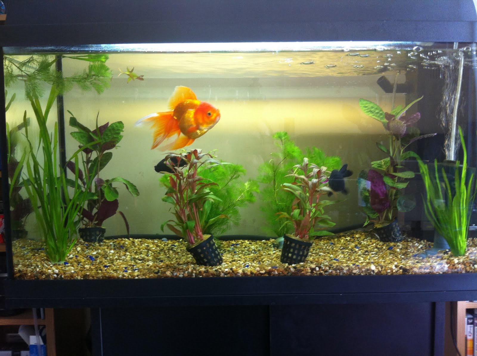 Goldfish care new tank setup for Fish tank for goldfish
