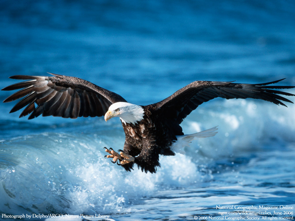Funny pictures gallery eagle bird eagle birds golden for Wings fish