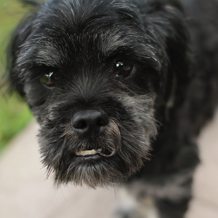 Daisy Shih Tzu Poodle Mix