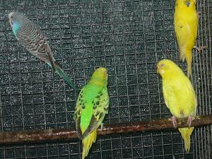 Periquitos Australianos (várias cores)