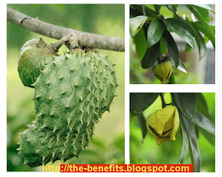 Soursop leaf - 1000 x more powerfull compared with chemotherapy
