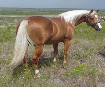 Caballo Quarter Horse (Cuarto de milla) | JINETE Y CABALLO