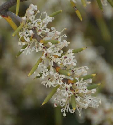 Needle Tree (Hakea psilorrhyncha)