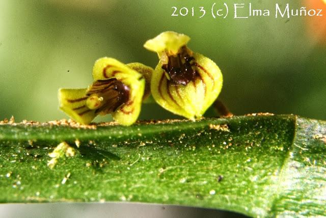 Pleurothallis sp. Orquideas del Perú
