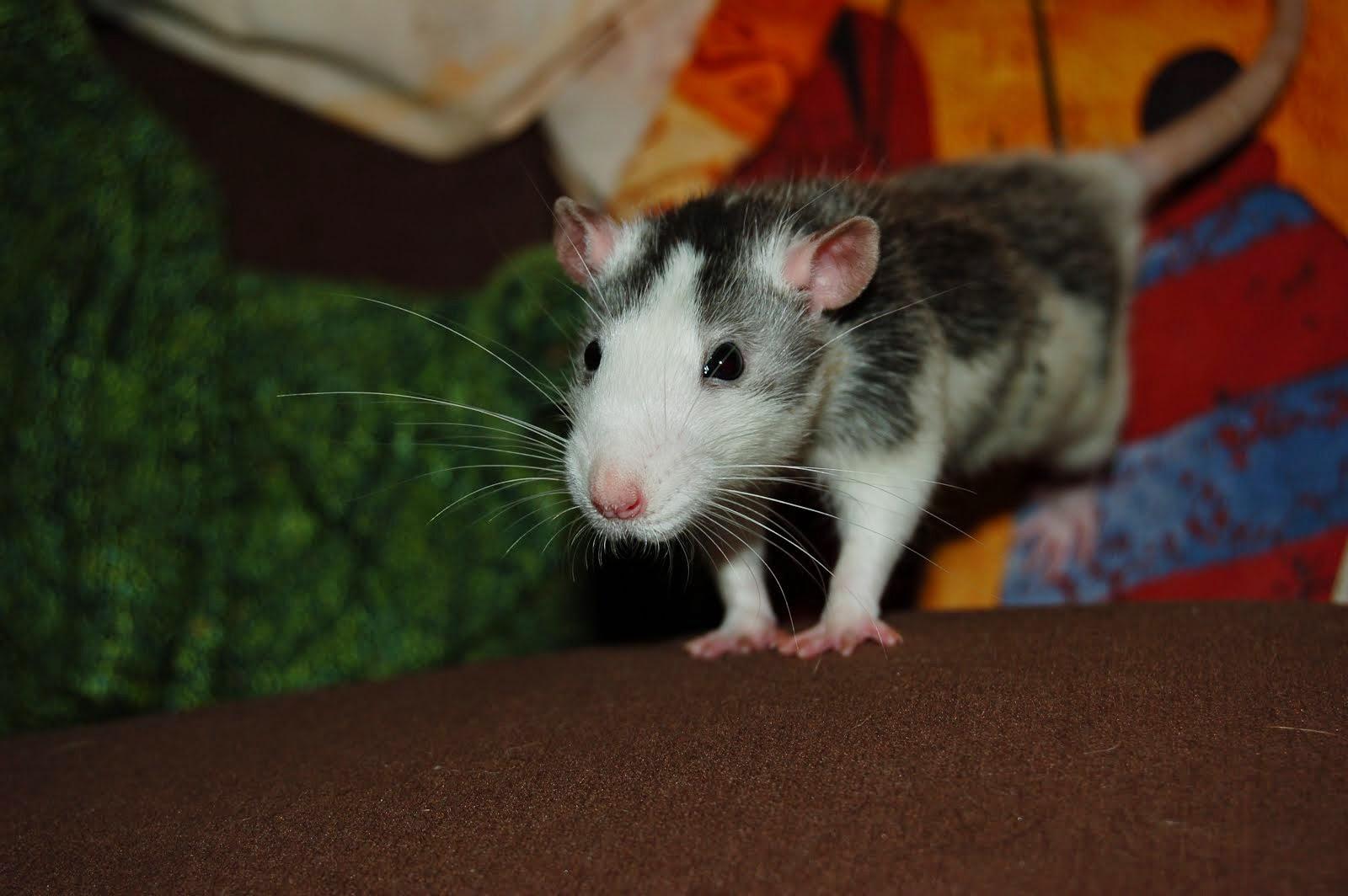 Des news de nos rats