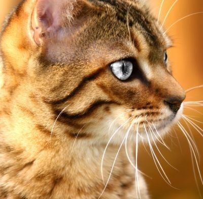 Interesting Facts about Bengal Cats?