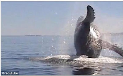 鯨魚報恩 1小時(鯨魚報恩 海面翻滾1小時)