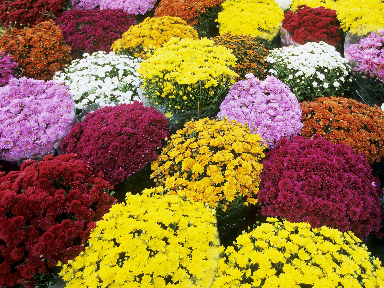 Gardens inspired fall blooming flowers and plants for Popular fall flowers