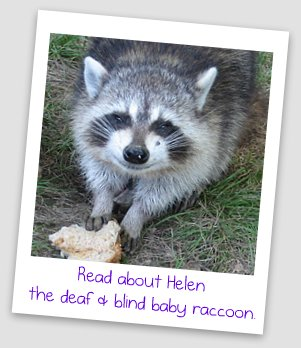 Helen the Raccoon