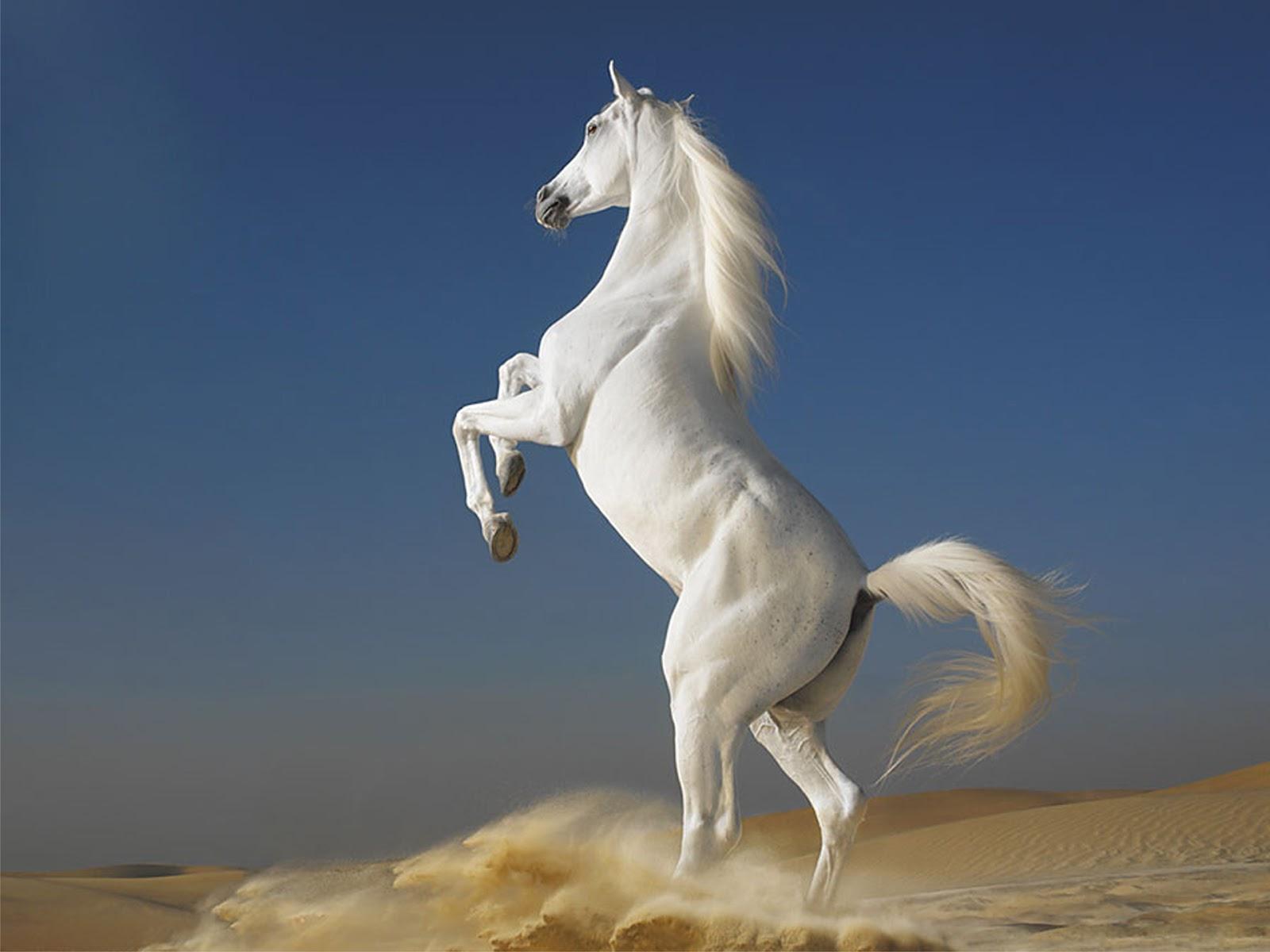 Cell Phone Wallpaper White Horse