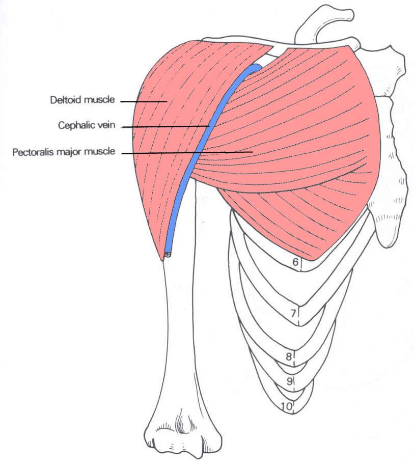 Ziemlich Bild Von Deltoidmuskel Ideen - Anatomie und Physiologie des ...