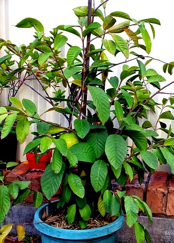 Guava tree with fruit grown in a pot