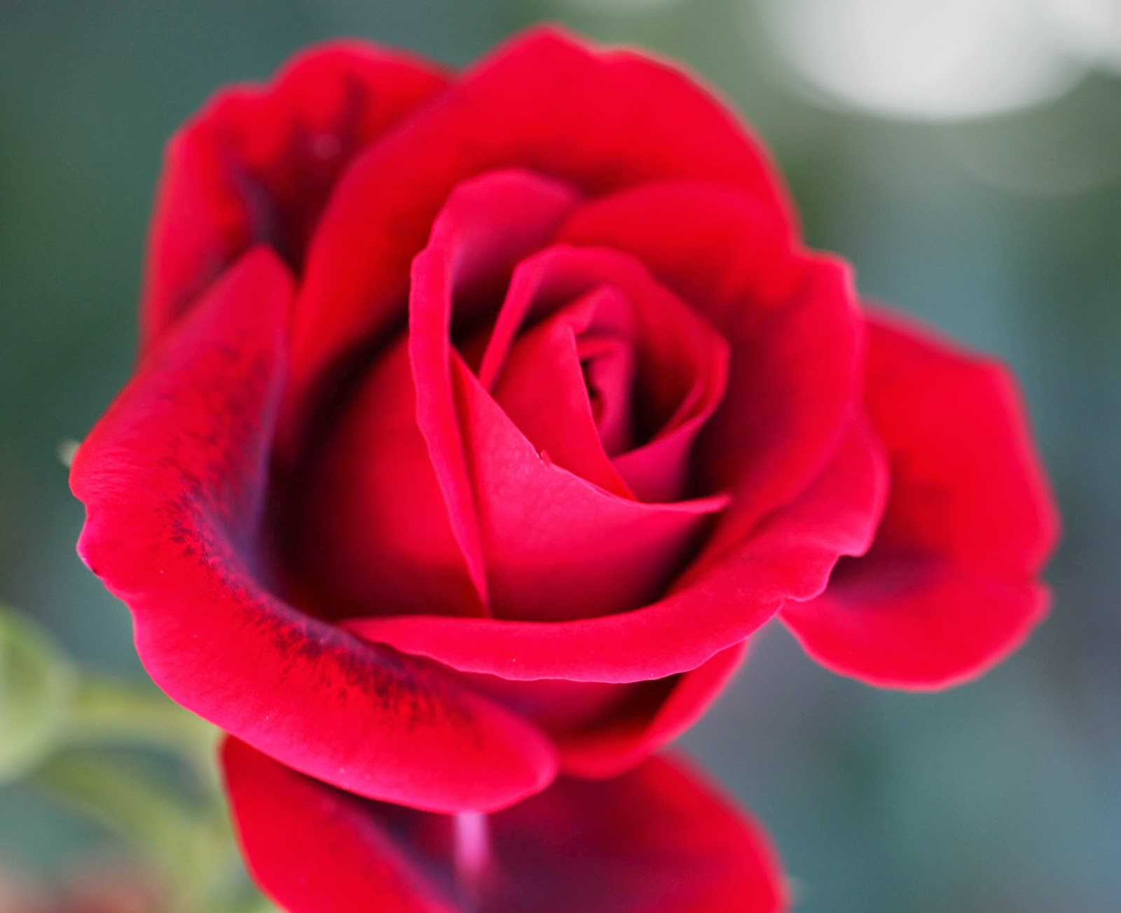 Top 10 Most Beautiful Roses In The World