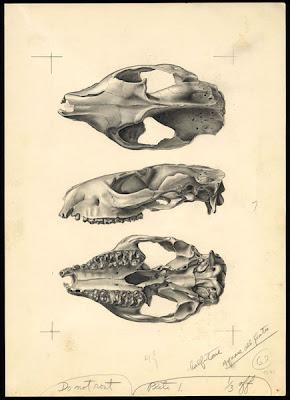 Meniscotherium skull