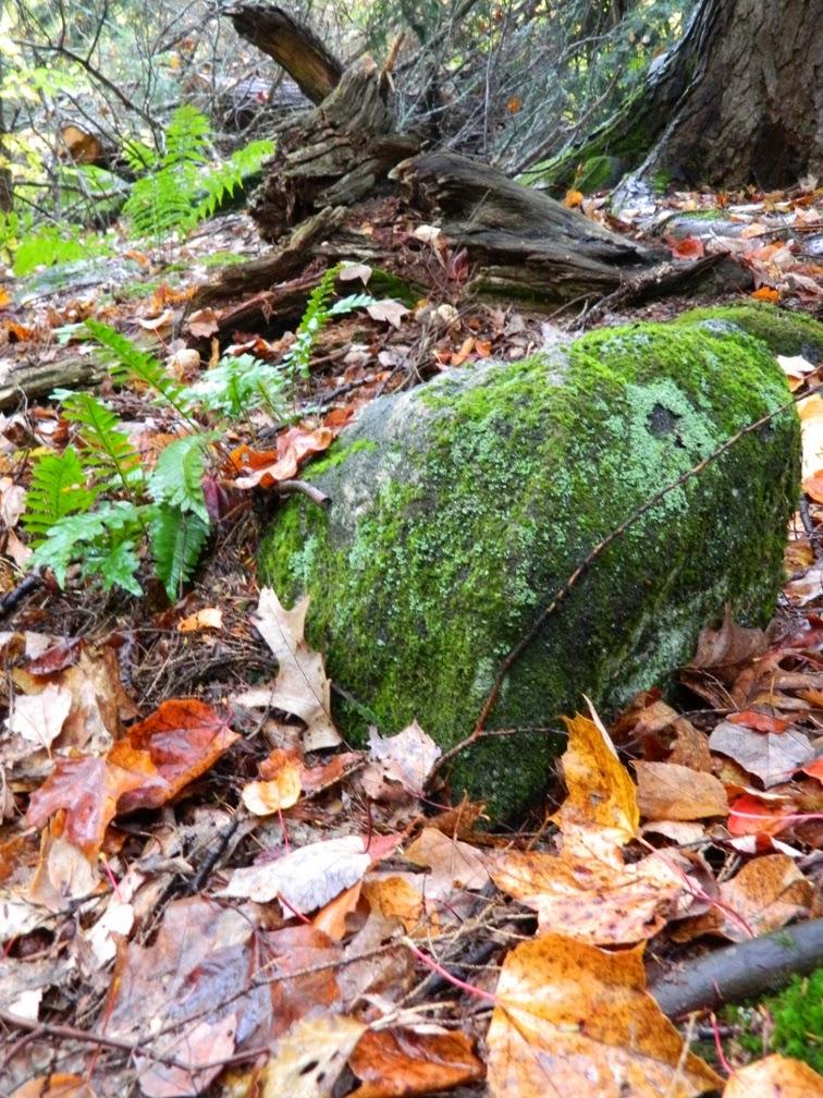 Muskoka fall colours mossy rock ferns  by garden muses--a Toronto gardening blog