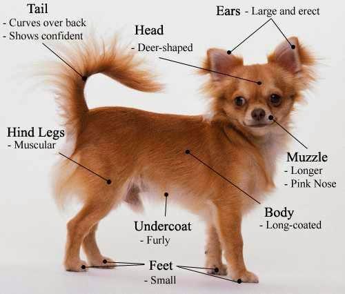 Rules Of The Jungle Chiwawa Dog