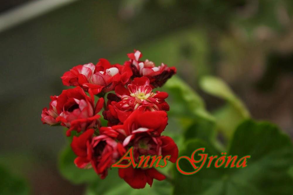 Anns gröna