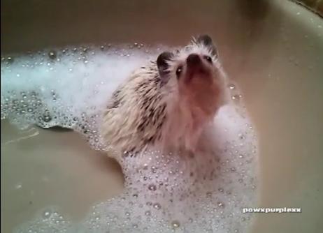 White Wolf : Hedgehog Bubble Bath - 85.2KB