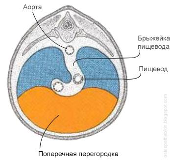 Эмбриогенез диафрагмы. Соединение поперечной перегородки и плевро-перитонеальных складок.