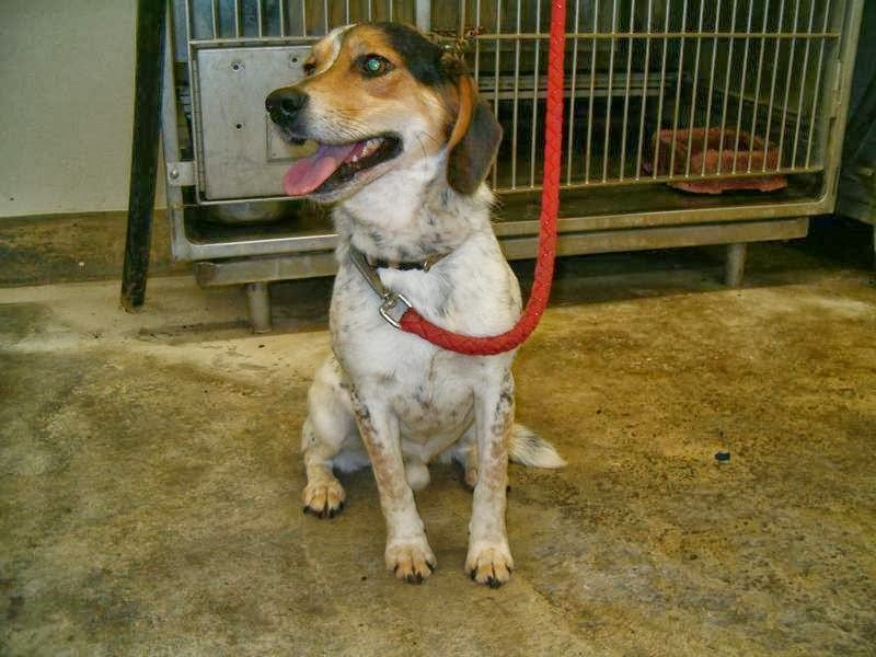 10/13 Upper Sandusky OH- Dogs in CAGES 24/7 NO Volunteers, NO WALKS- PLEASE HELP THIS Beagle- SPOT