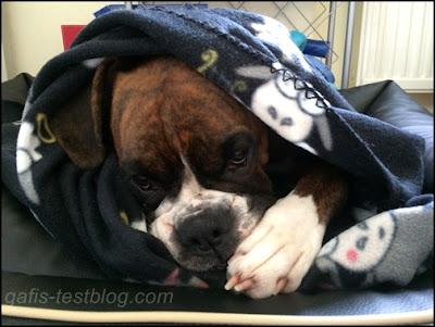 Boxer Amy ist müde