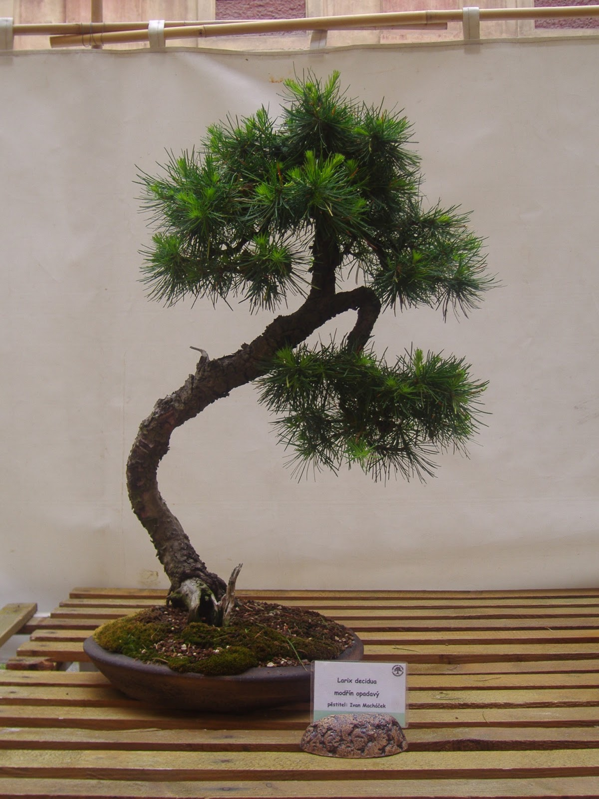 Bonsai Ervence 2013
