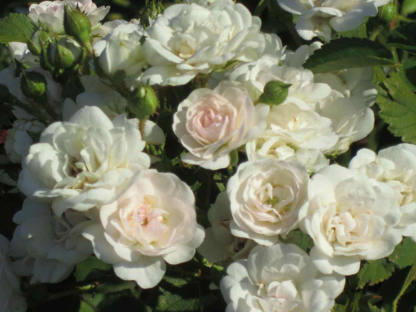 Roses and other gardening joys best rose august 2011 apple blossom flower carpet rose mightylinksfo Image collections