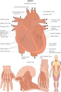 Анатомия человека в векторе