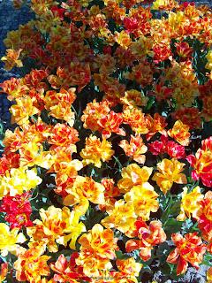 tulipas alaranjadas