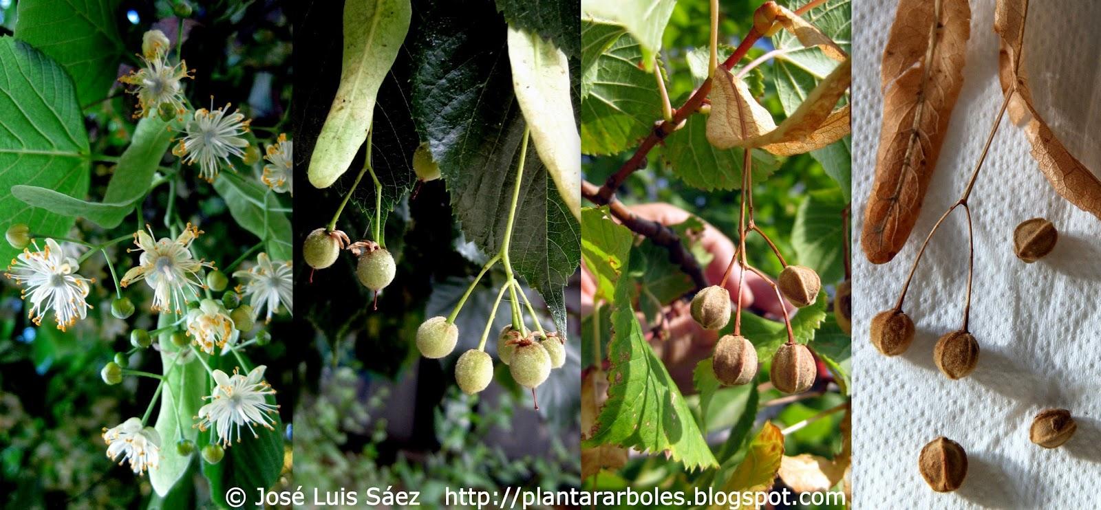 Plantar rboles y arbustos rboles aut ctonos de espa a for Arbol con raices y frutos