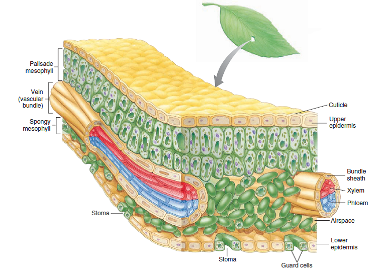 epidermis structure #10