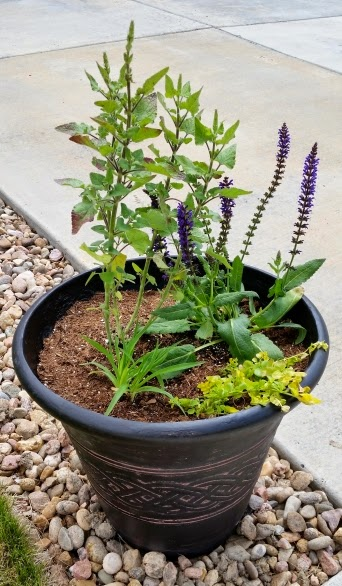 Container garden - creeping Jenny, daylily, meadow sage, salvia, Mexican sage