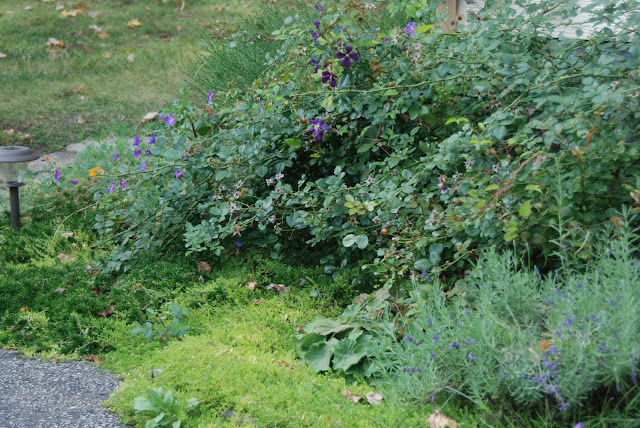 The Driveway Garden with Munstead lavender (Lavandula angustifolia)