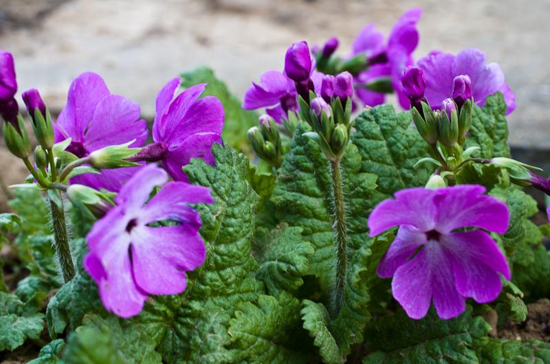 quelle est cette Primula Primula+sp