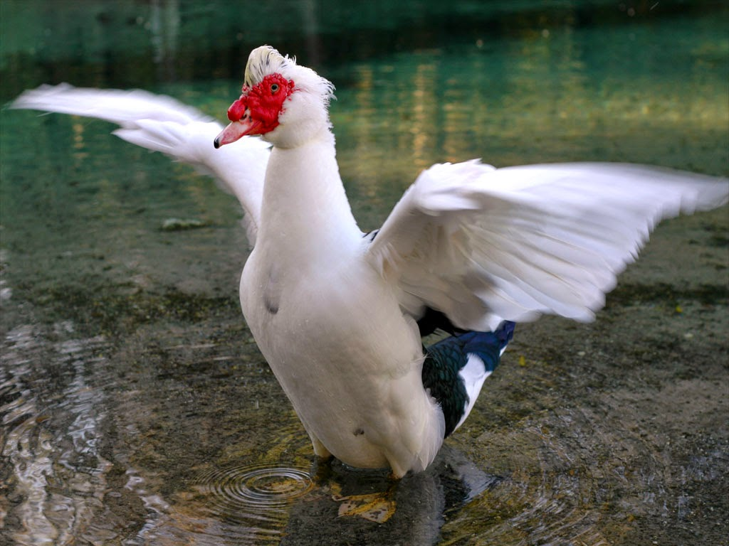 White Muscovy Duck Pictures