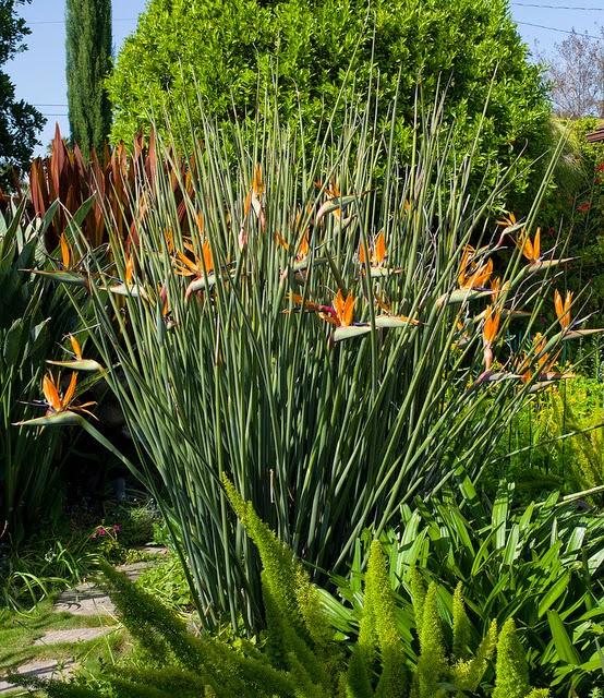 flores tropicais jardim : flores tropicais jardim:RW PAISAGISMO: FLORES TROPICAIS: ESTRELITZIA-LANÇA