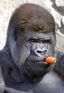 Imagenes Graciosas de Animales, Gorila