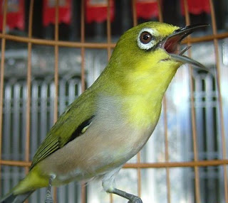 Tips Cara Merawat Burung Pleci Agar Cepat Bunyi dan Gacor