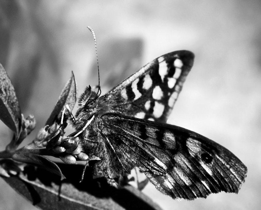 Foto a preto e branco duma Borboleta na ponta dum ramo de planta