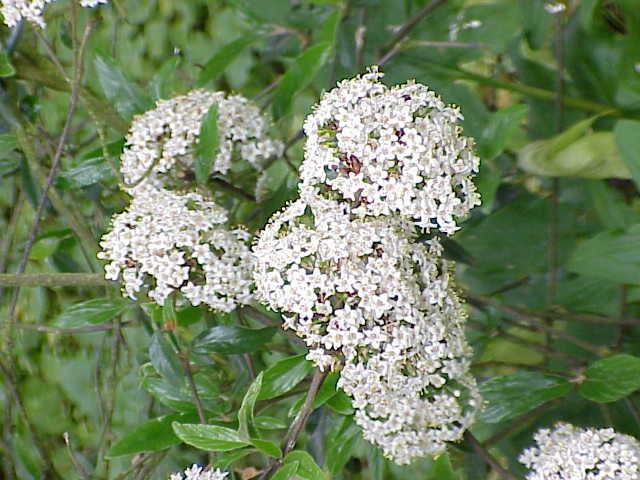 Piante e fiori viburno for Fiori piccoli bianchi