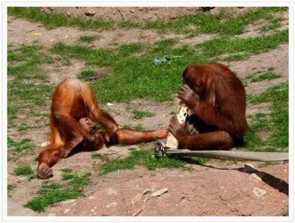 Saat monyet mengolok - olok kawannya