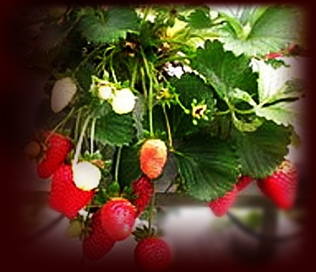 Cooking varieties food and health benefits strawberry and rose hip tea recipe the health - Rosehip syrup health benefits ...
