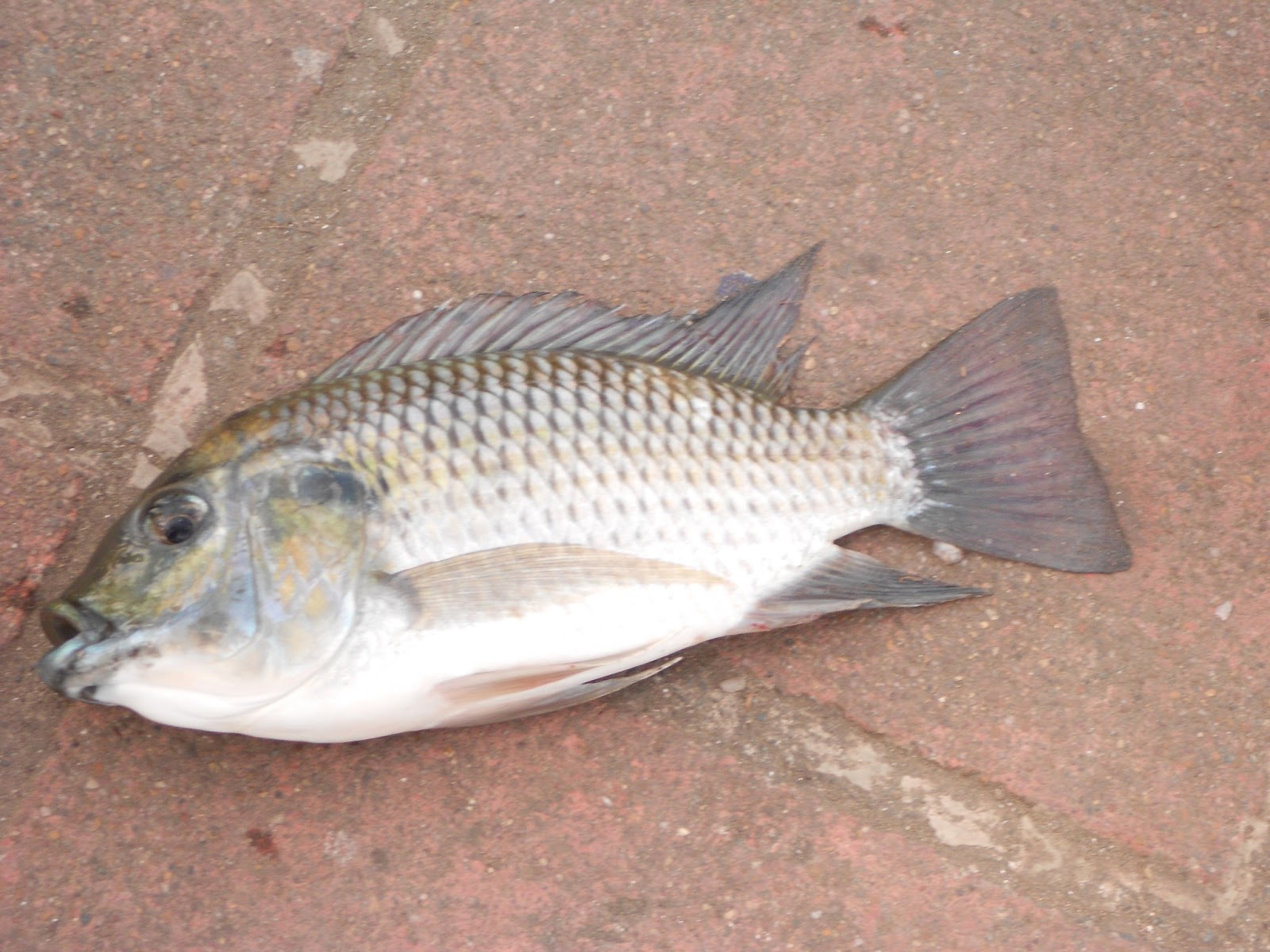 Travel therapy tips for Fishing for tilapia